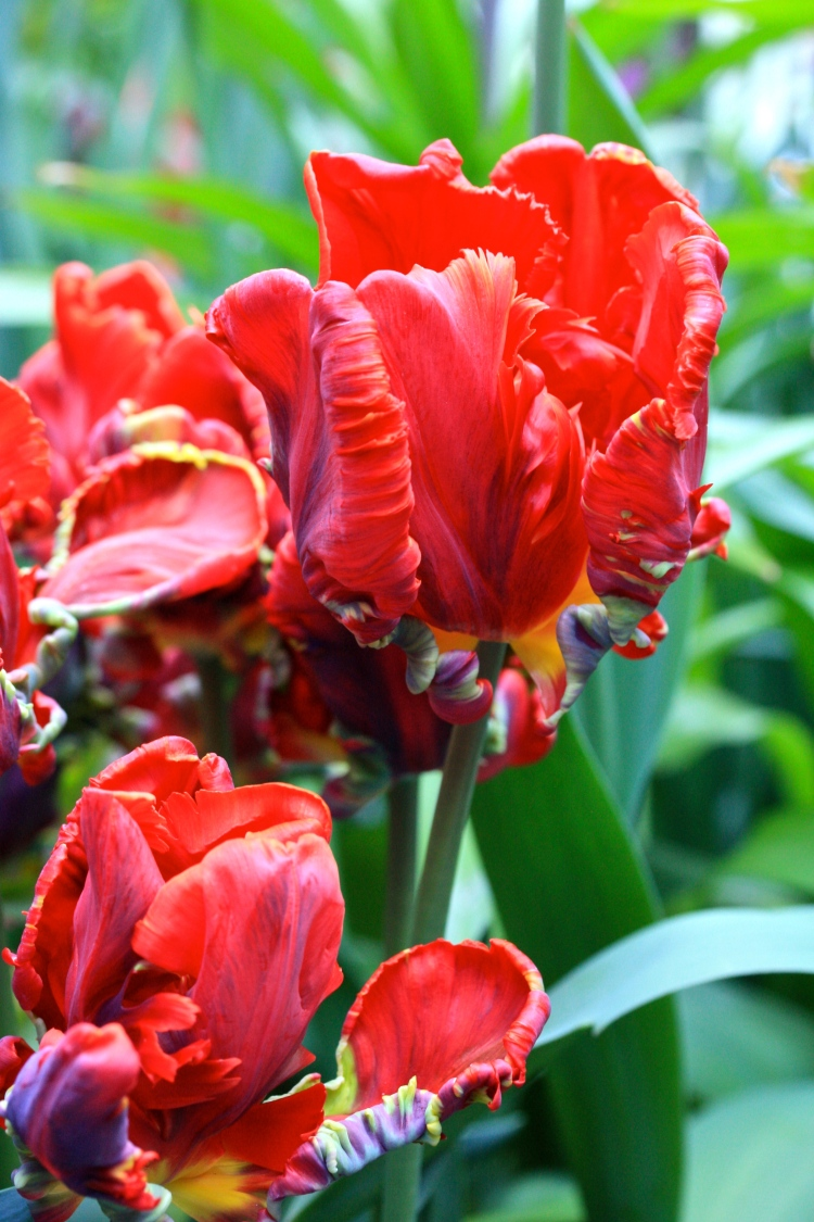 "Tulipa ""Rococo"", which I think would be better named ""Red Dragon"""