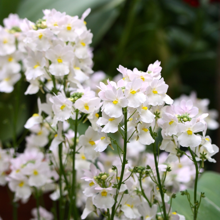 "Nemesia ""Wisley Vanilla"", The Watch House, May 2016"
