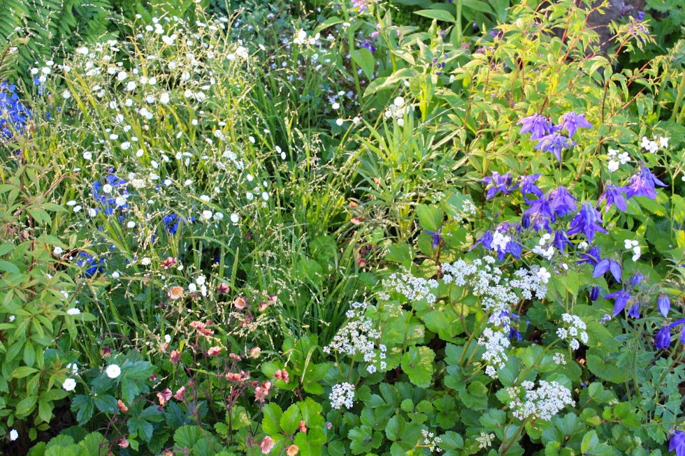"Ranunculus aconitifolius 'Flore Pleno' and blue aquilegia in a light haze of Melica altissima ""Alba"""