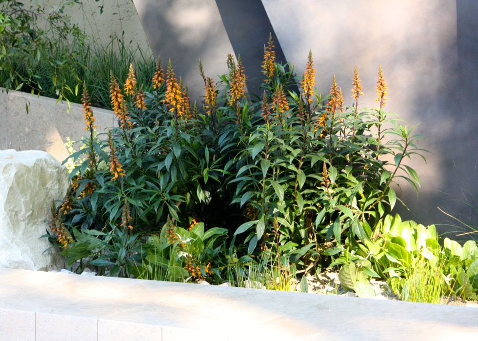 Isoplexis canariensis played a starring role in Andy's Jurrasic inspired garden