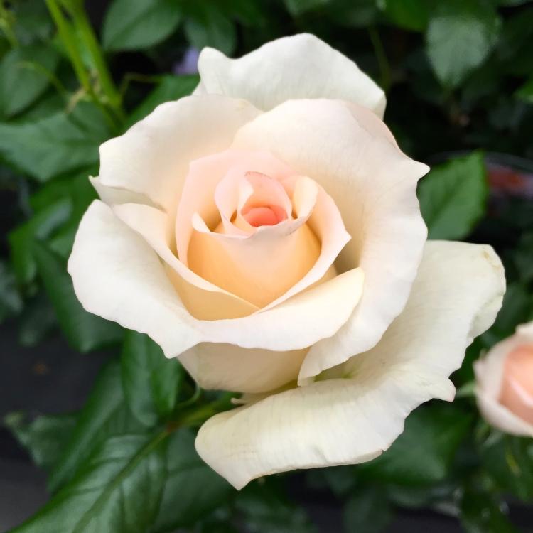 """Rosa """"Chandos Beauty"""""""