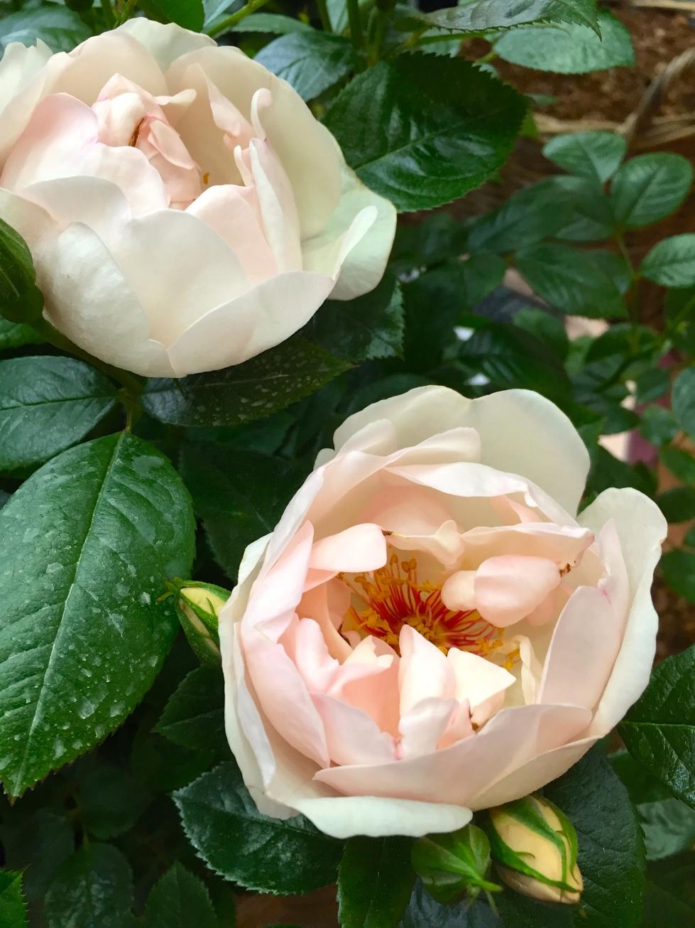 """Rosa """"Jacqueline du Pré"""""""
