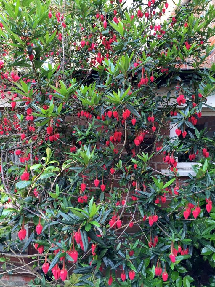 Crinondendron hookerianum, Shaftesbury, June 2016