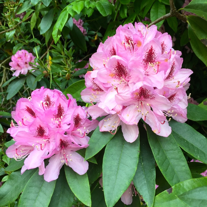 Rhododendrons, Stourhead, June 2016