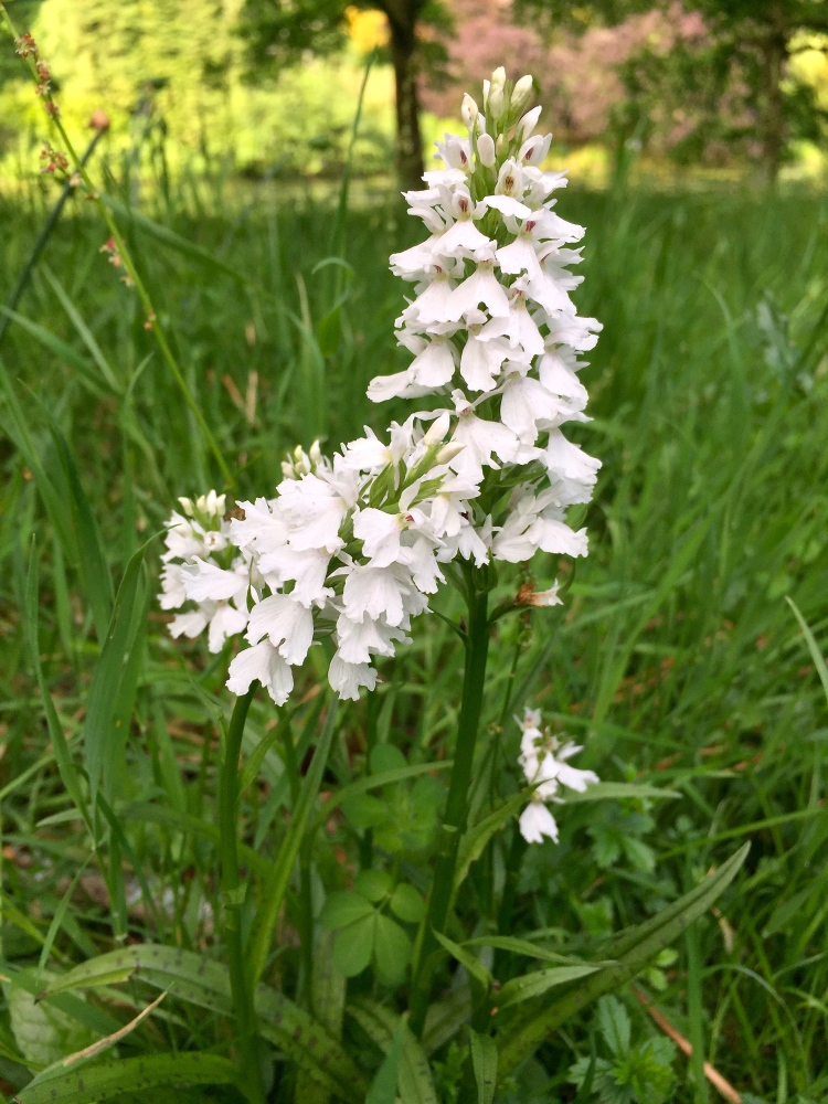 The white form of the common spotted orchid