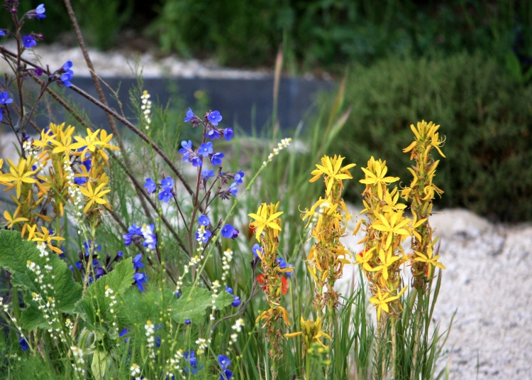 Anchusa azurea and Asphodeline lutea