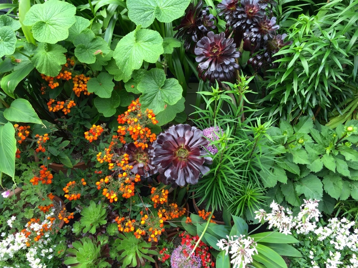 "Aeonium ""Zwartkop"" and Calceolaria ""Kentish Hero"""