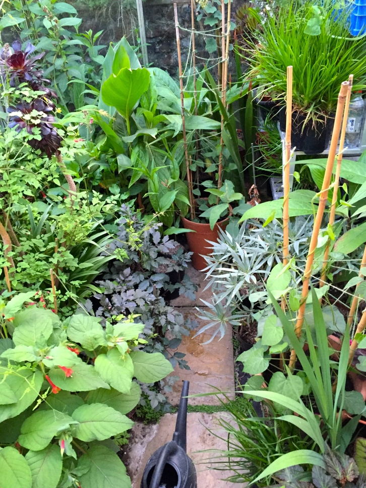 Splendid Fuchsia splendens, dahlias, echiums and cannas in the greenhouse