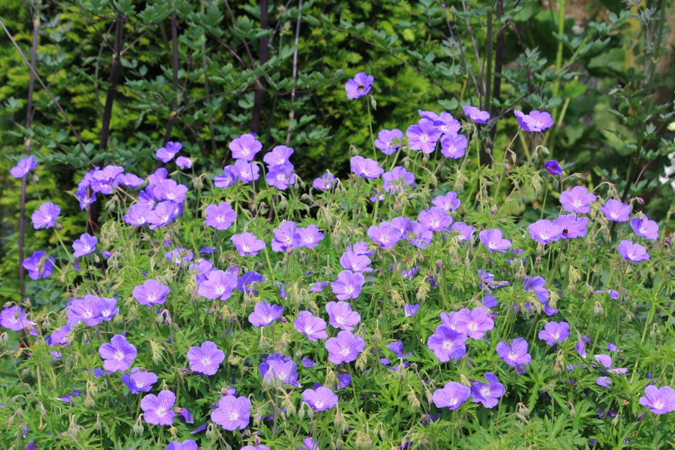Hardy geraniums, The Chapel, Thorne Hill, Ramsgate, Kent