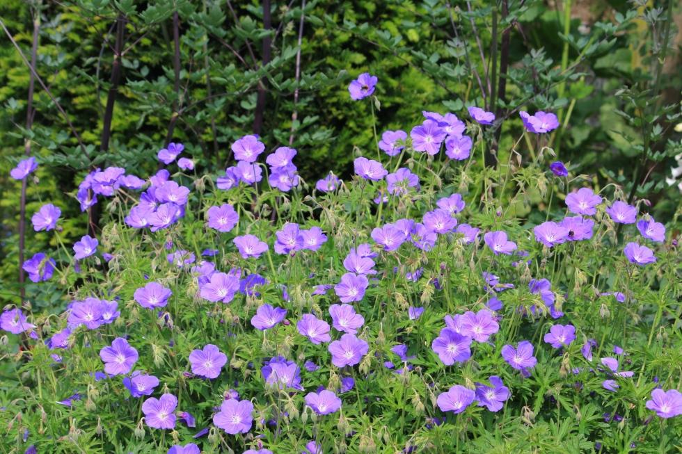 Hardy geraniums, The Chapel, Thorne Hill, Ramsgate, Kent
