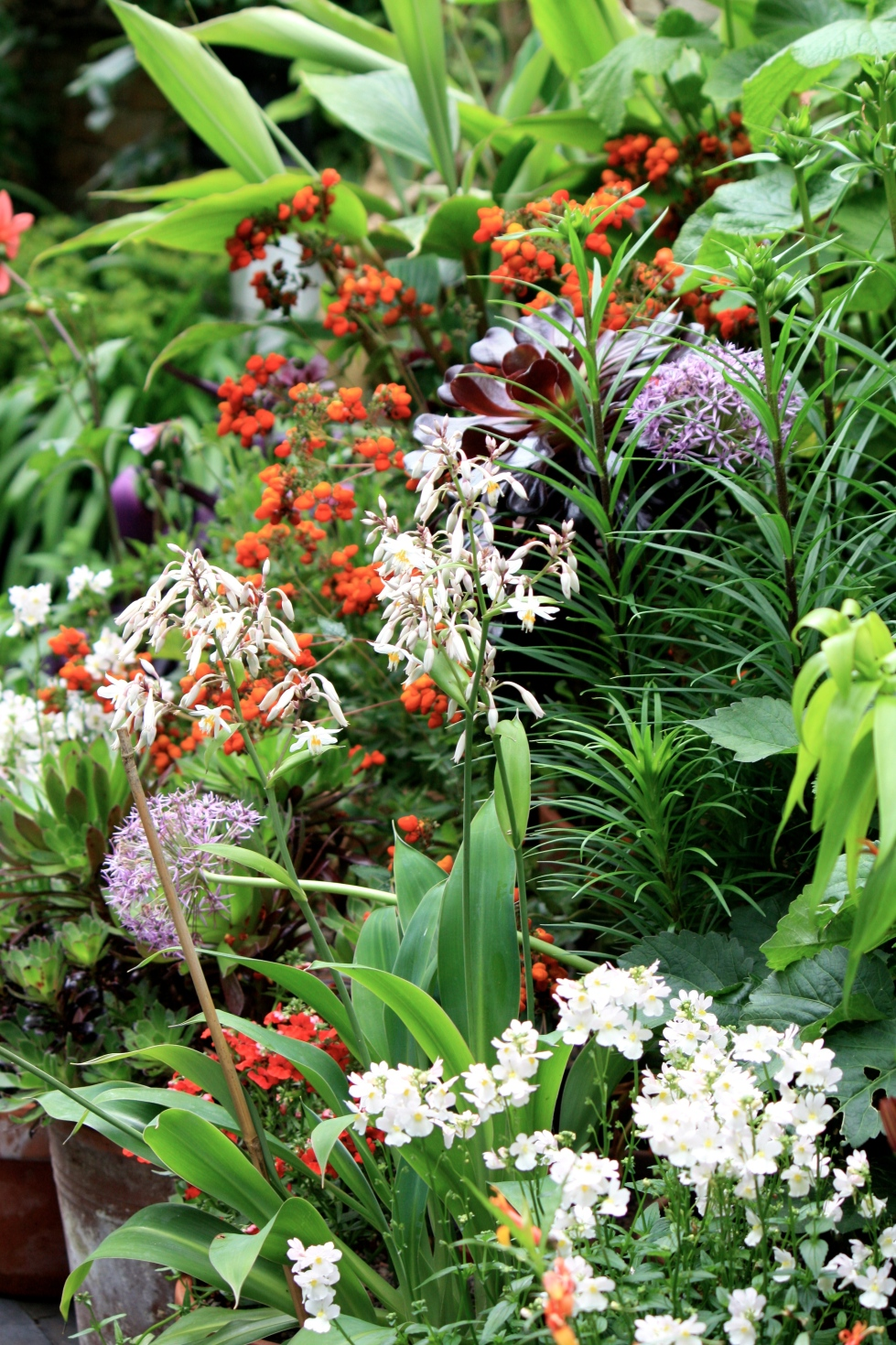 "Aeonium ""Zwartkop"", Calceolaria ""Kentish Hero"" and Arthropodium cirratum ""Matapouri Bay"""