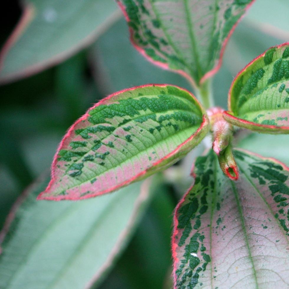 """Tibouchina urvilleana """"Variegata"""" has stunningly marbled foliage"""
