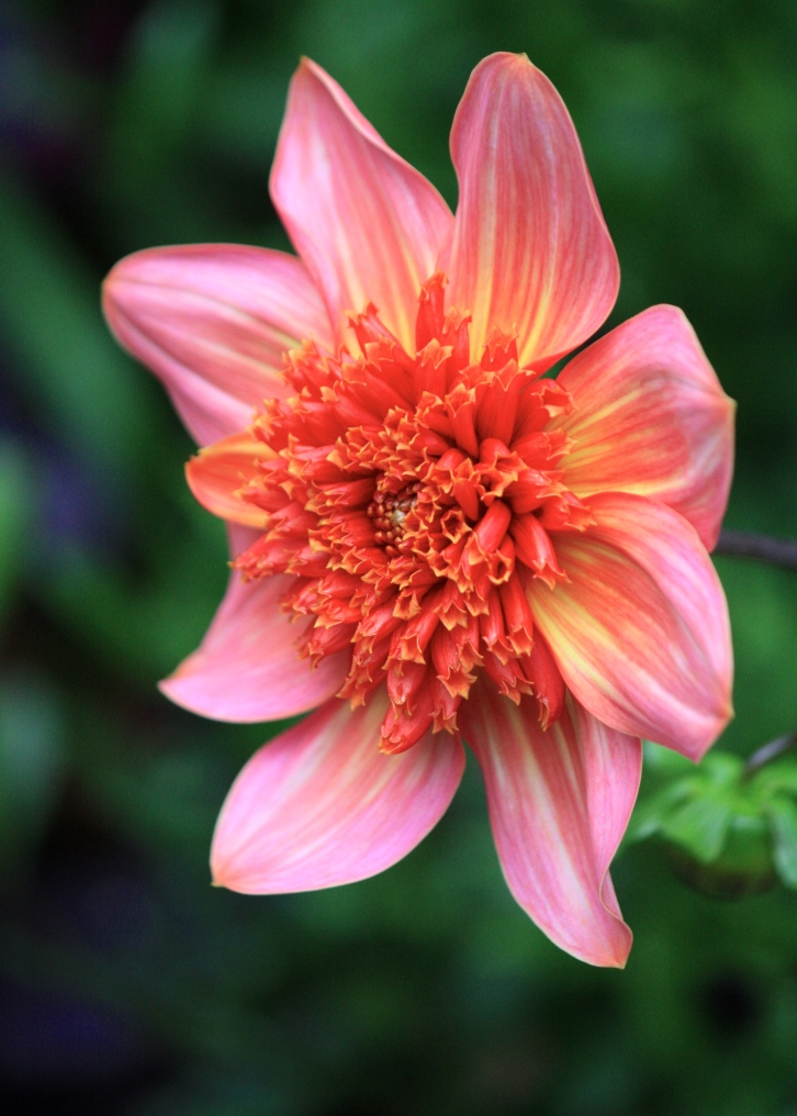"Dahlia ""Totally Tangerine"""