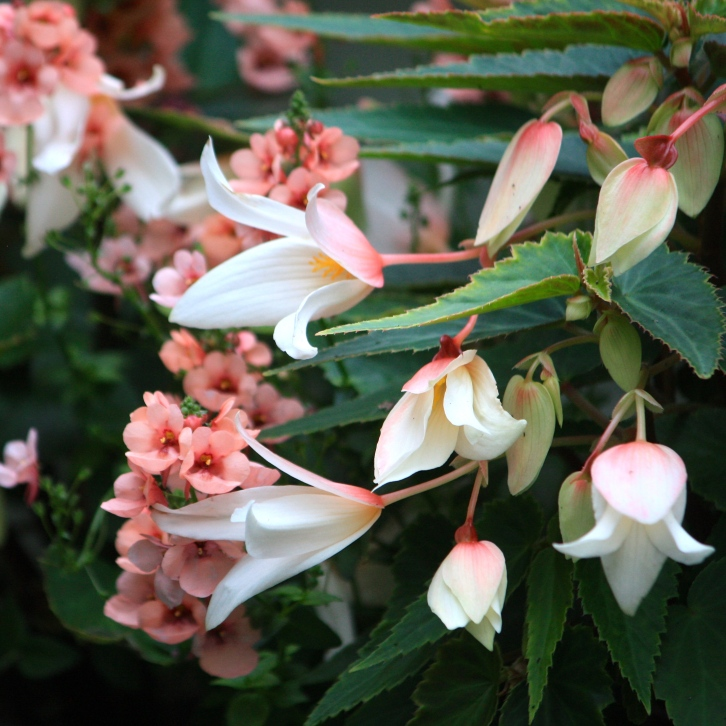 "Begonia ""Bossa Nova White"" and Diascia ""My Darling Peach"" make perfect companions"
