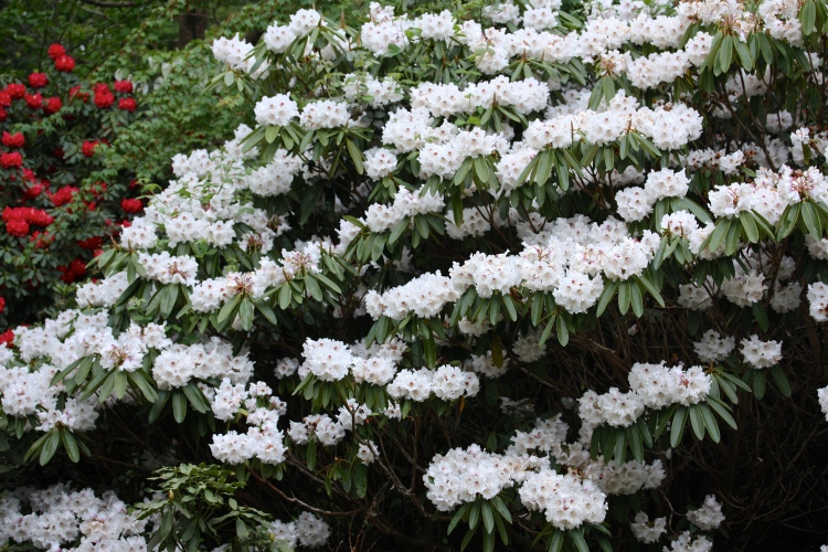 white rhododendron, Sandling Park, May 2016