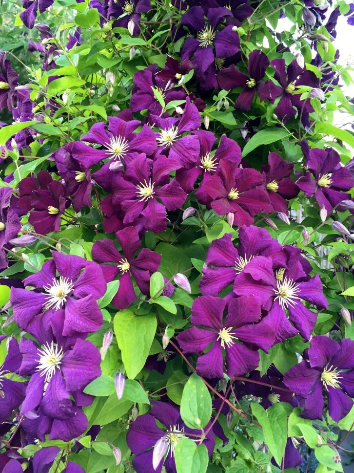 """Clematis """"Etoile Violette"""", Polegate Cottage, July 2016"""