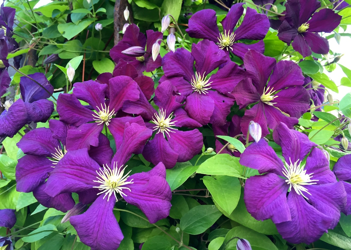 "Daily Flower Candy: Clematis ""Étoile Violette"" AGM"