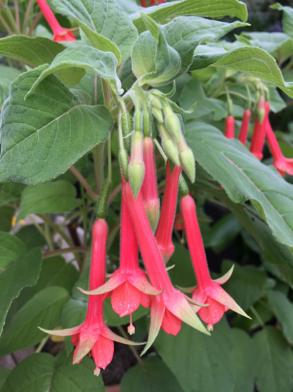 Fuchsia splendens, the most splendid fuchsia of them all, perhaps with the exception of F. boliviensis.