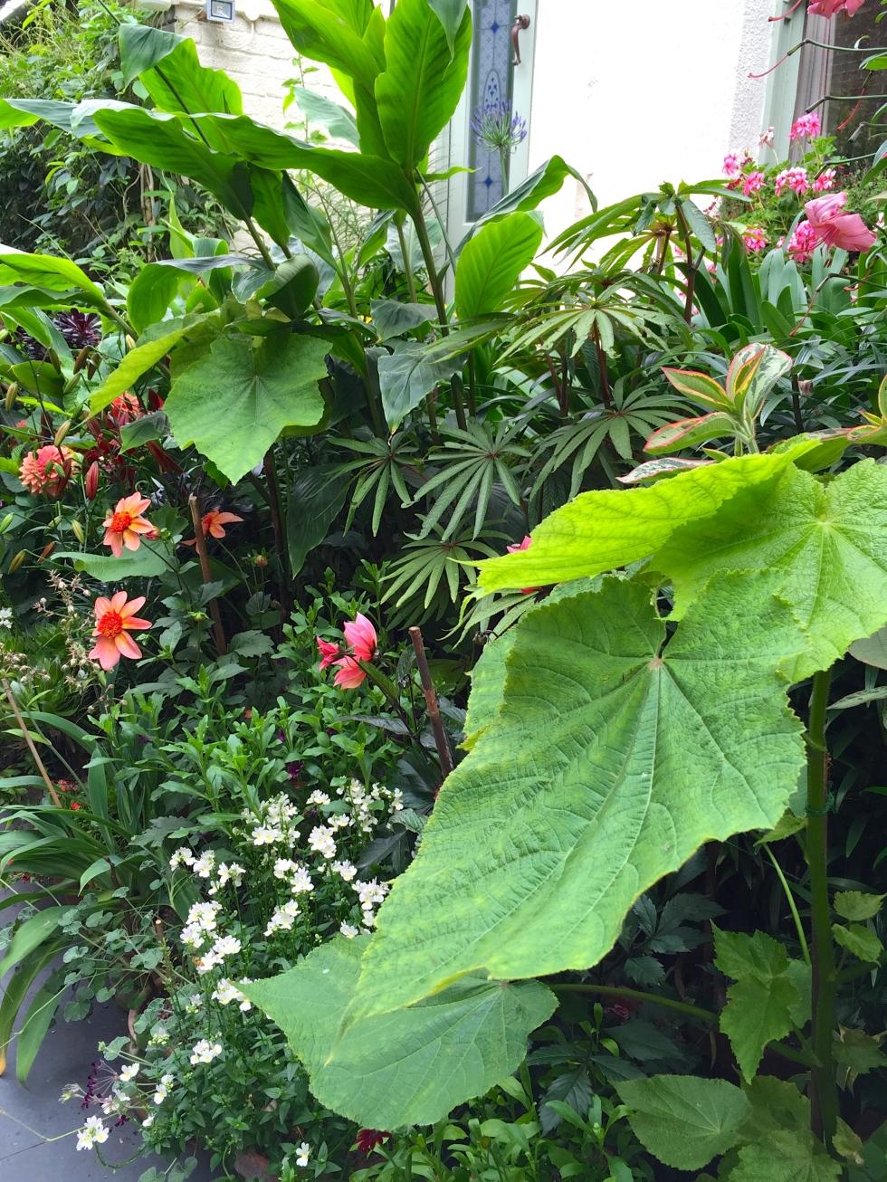 "Sparmannia africana ""Flore Pleno"", Begonia luxurians and Dahlia ""Totally Tangerine"""