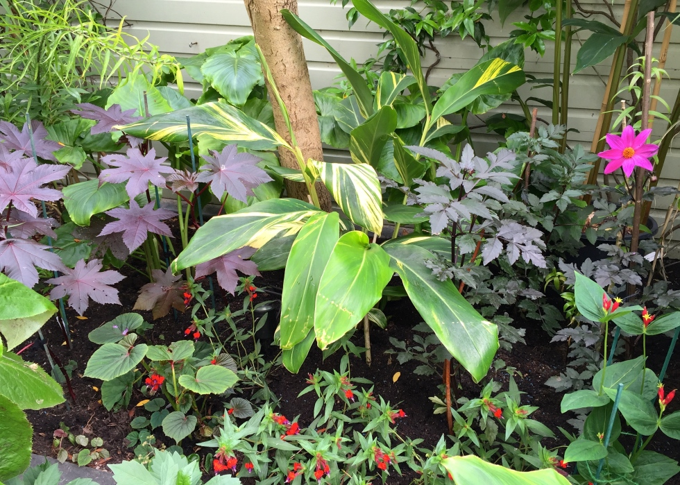 "Ricinus ""New Zealand Purple"", Alpinia zerumbet, Dahlia ""Magenta Star"""