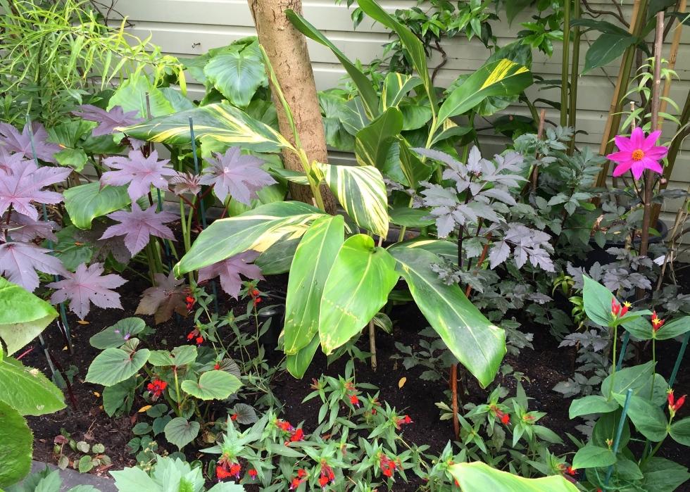 "Ricinus ""New Zealand Purple"", Alpinia zerumbet, Dahlia ""Magenta Star"""
