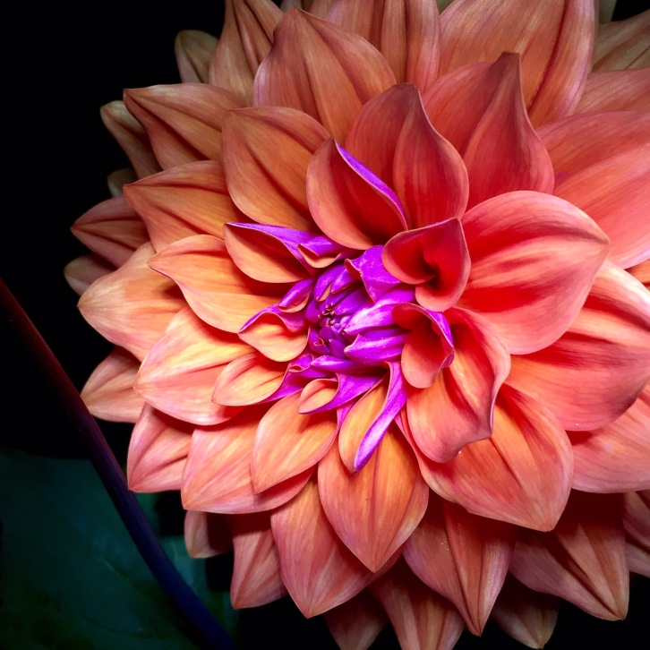"""Dahlia """"American Dawn"""" at night, The Watch House, July 2016"""
