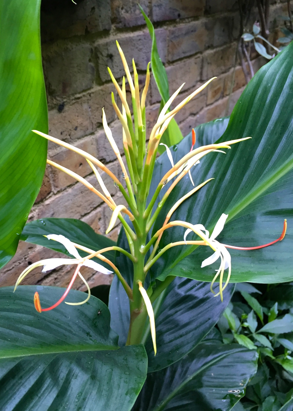 Hedychium yunnanense, The Watch House, July 2016