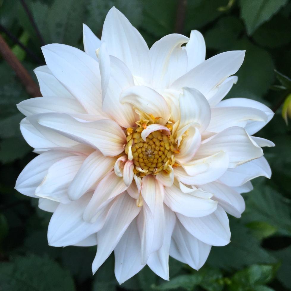 Dahlia 'Darkarin' - more blanc than burgundy!