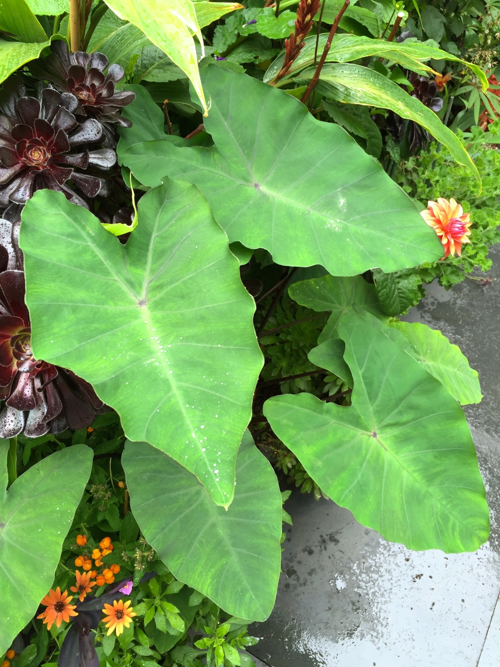 Colocasia esculenta, The Watch House, August 2016