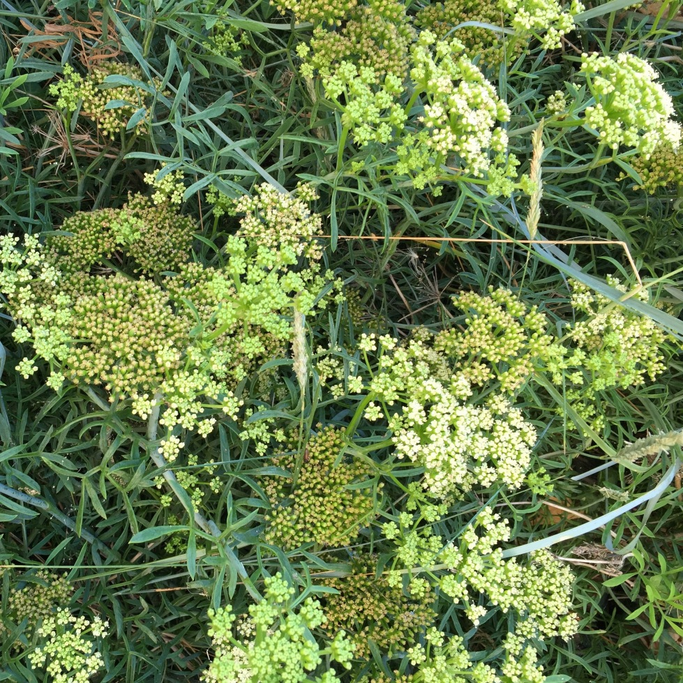 Crithmum maritimum, Broadstairs, August 2016