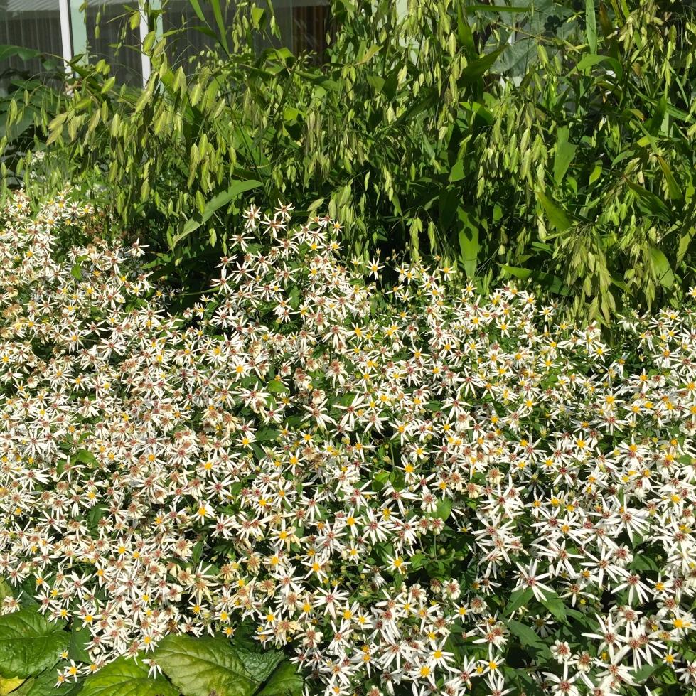 Aster divaricatus, Handyside Gardens, King's Cross, London, August 2016