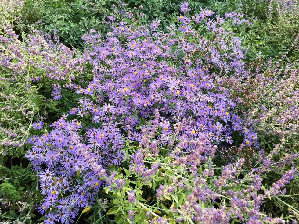 Asters and perovskia, Handyside gardens, King's Cross, London, August 2016