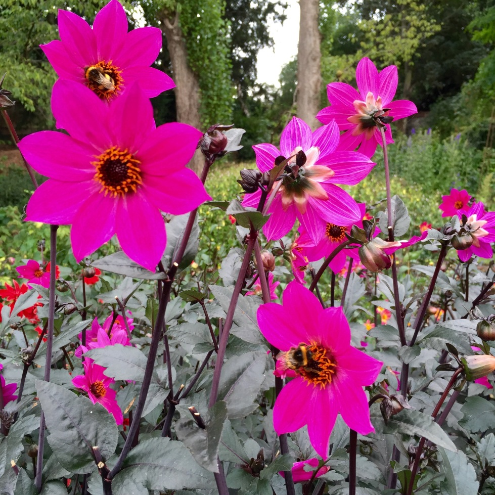 Single dahlias like D. 'Magenta Star' and D. 'Waltzing Matilda' are bee magnets