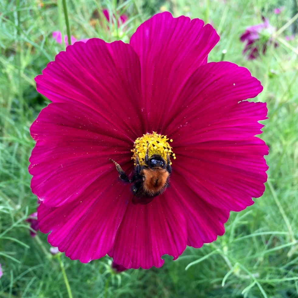 Cosmos not only have single flowers but produce huge numbers of them through the summer