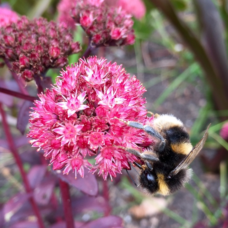 Sedums are well known for attracting bees when they bloom at the end of summer
