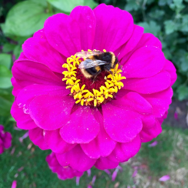 Bumblebee on a pink zinnia, The Salutation, Sandwich, September 2016