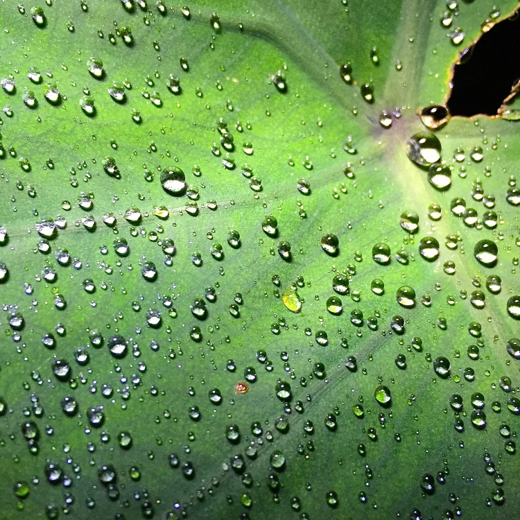 Raindrops on Colocasia esculenta, The Watch House, September 2016