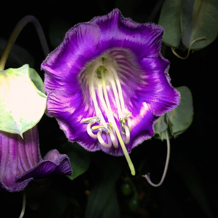 Cobaea scandens, The Watch House, September 2016
