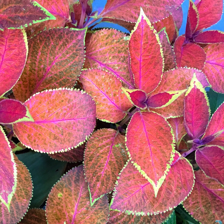 red coleus, The Watch House, September 2016