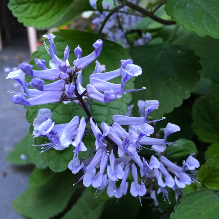Plectranthus zuluensis, The Watch House, September 2016