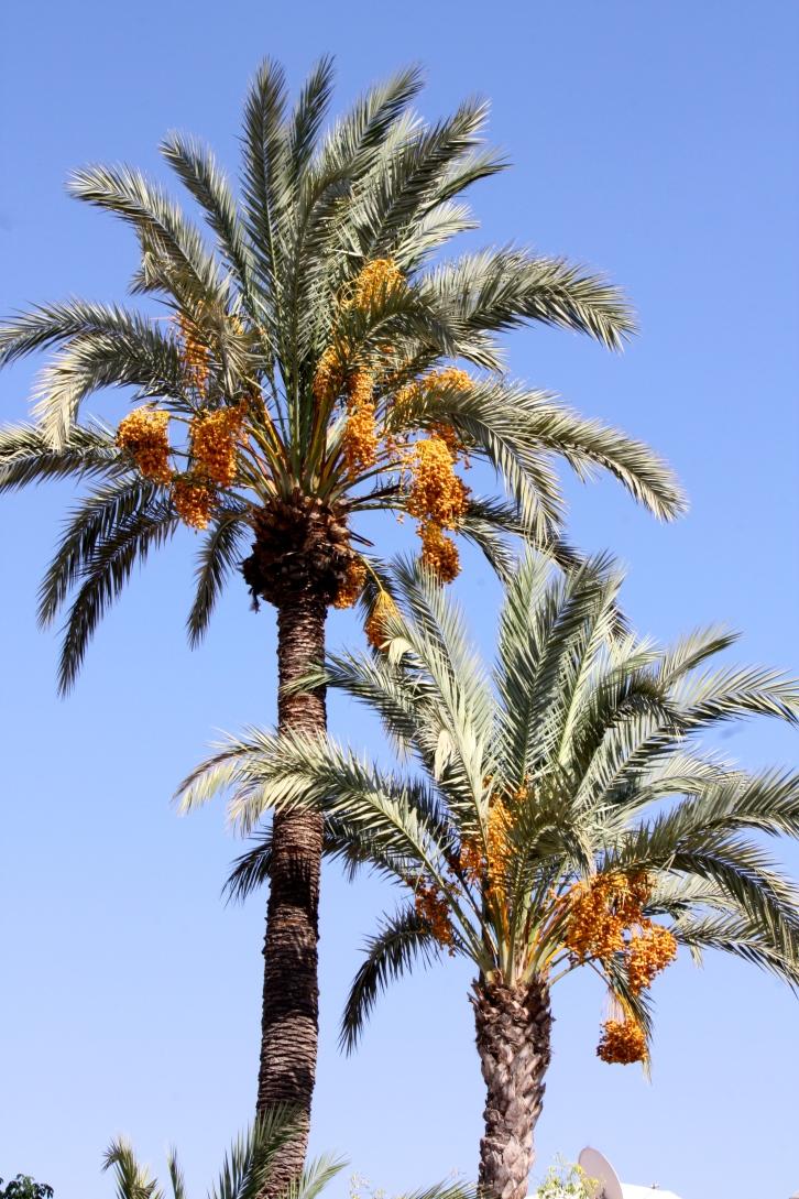 Date palms, Le Jardin Secret, Marrakech, September 2016