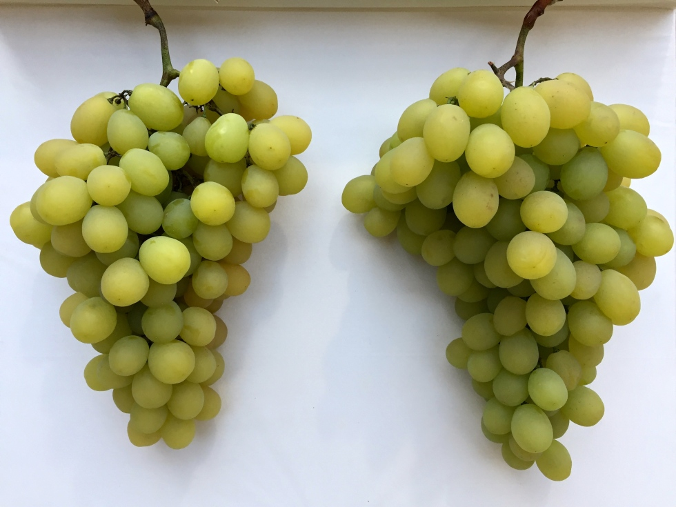 Grape 'Muscat of Alexandria' is an ancient variety used for making wine, rasins and for serving at the table