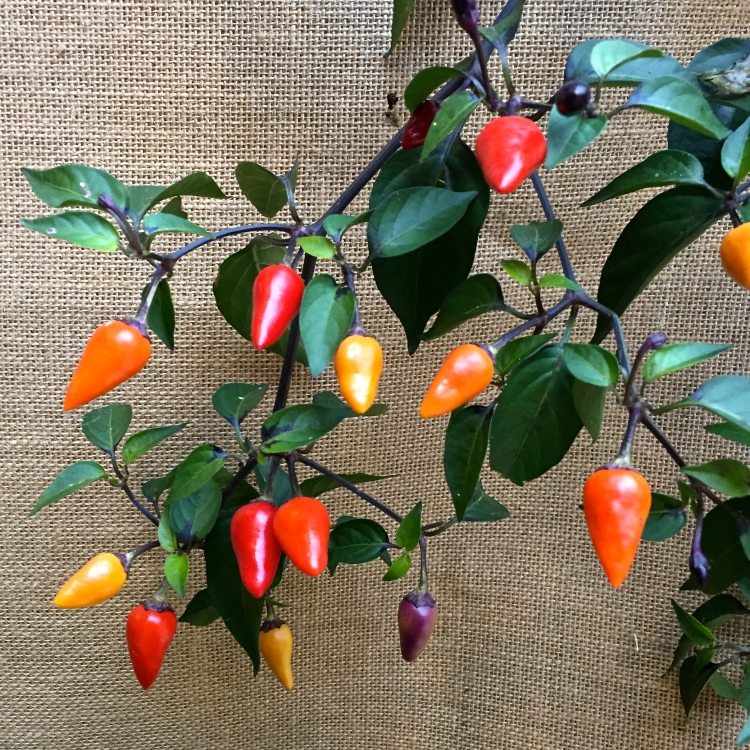 Chilli 'Fairy Lights'