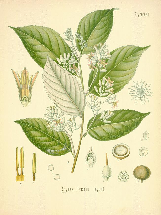 Styrax benzoin, the Sumatran tree from which benzoin resin is extracted
