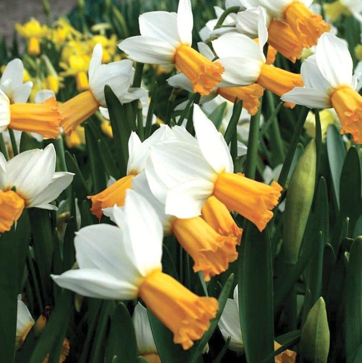 Narcissus 'Winter Waltz'