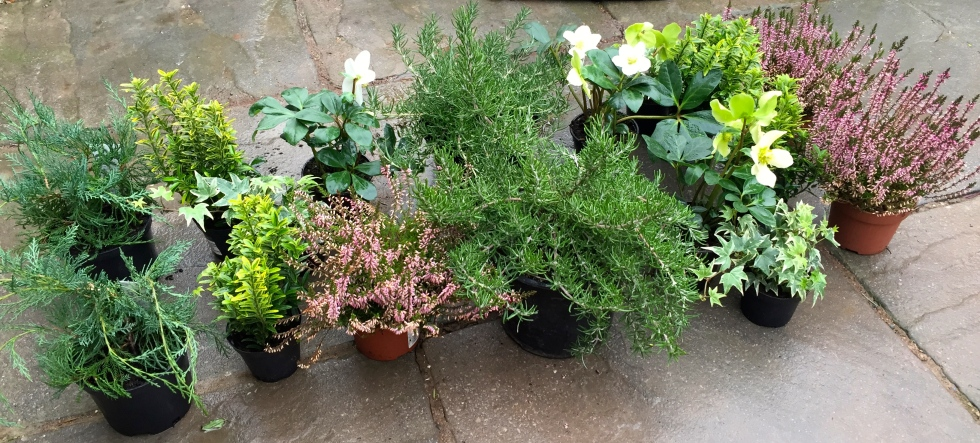 Winter bedding, heathers, rosemary, conifers, The Watch House, January 2017