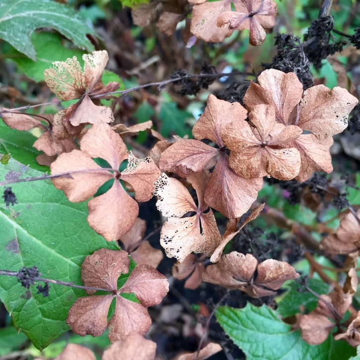 The faded blooms of Hydrangea quercifolia