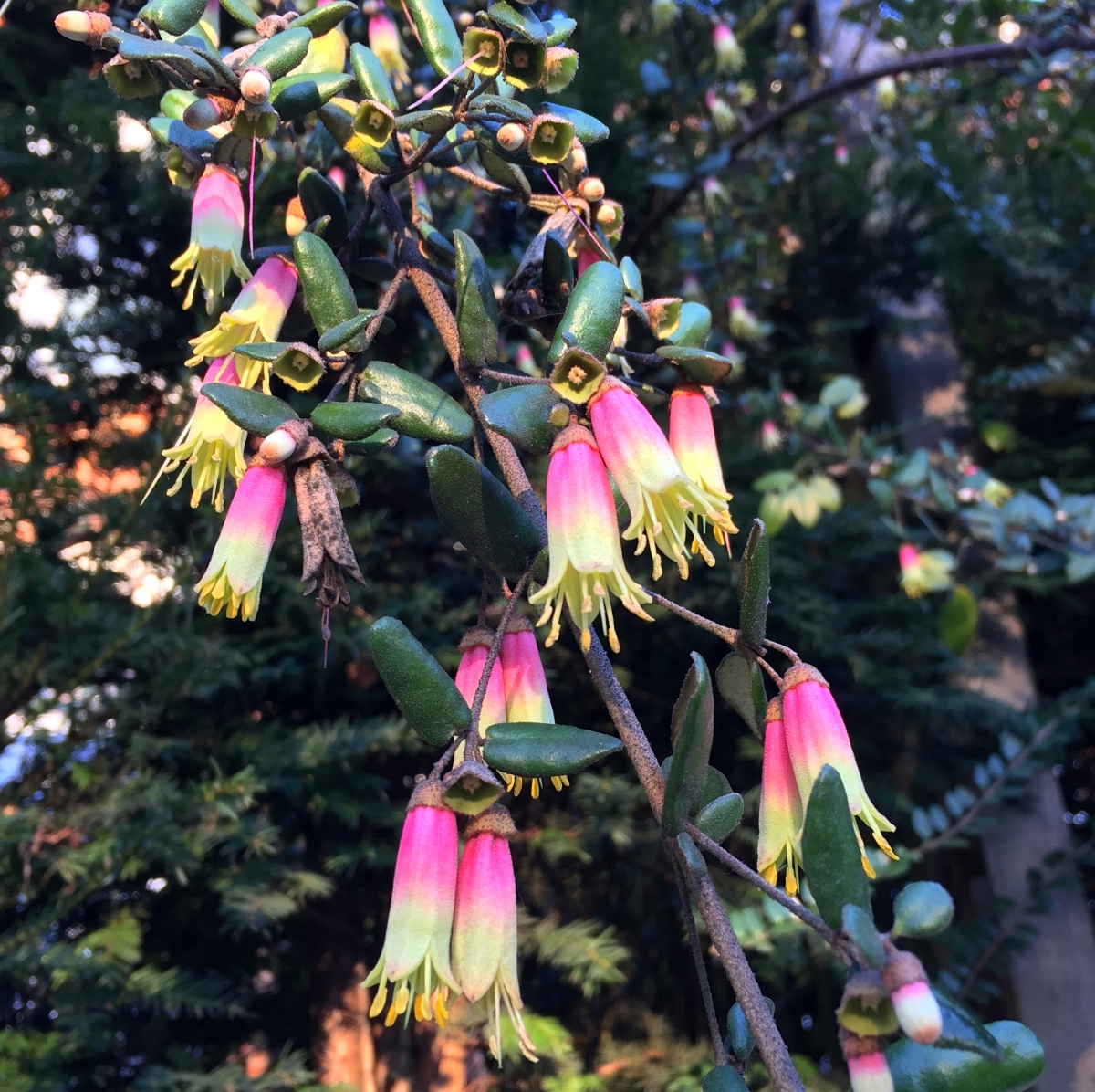 Daily Flower Candy: Correa 'Marian's Marvel'