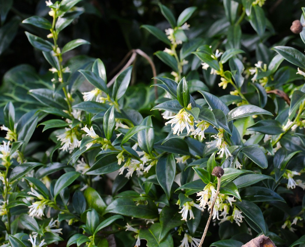 Scented flowers for the midwinter garden the frustrated gardener sarcoccoca confusa mightylinksfo