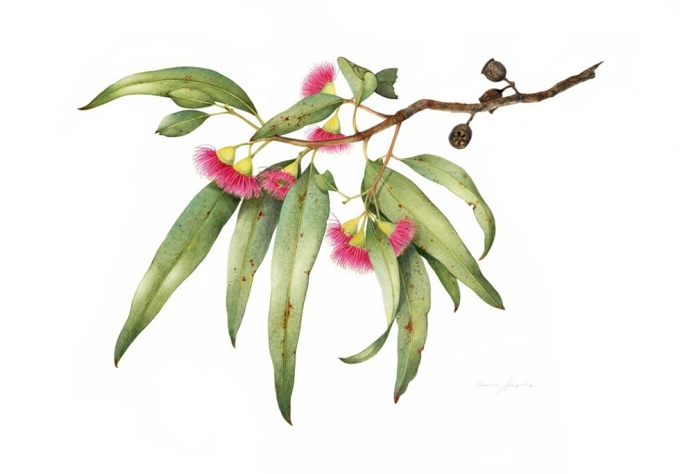 Eucalyptus leucoxylon, painted by Annie Hughes from Sydney, Australia
